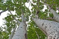 Free Young Aspens Royalty Free Stock Photography - 9988177