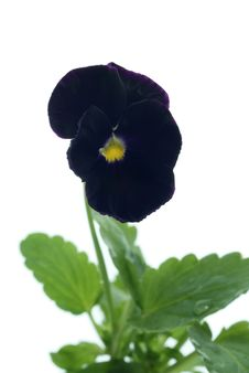 Dark Heartsease Royalty Free Stock Images