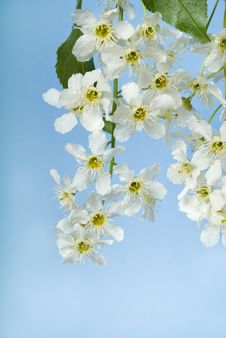 Free Flowers Of  Bird Cherry Tree Stock Photo - 9988200