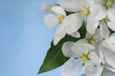 Free Flowers Of Apple-tree Stock Images - 9988214