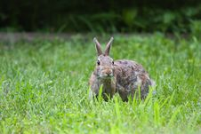 Jack Rabbit Eating Royalty Free Stock Images