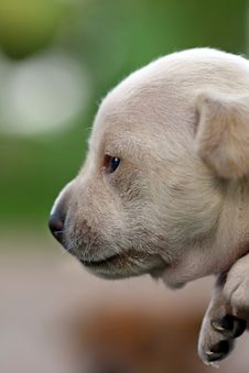 Free Side Profile Puppy Royalty Free Stock Photography - 9989817