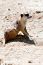 Free Meercat Royalty Free Stock Image - 9990786