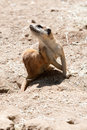 Free Meercat In The Wild Royalty Free Stock Photo - 9990965