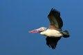 Free Pelican In Flight Royalty Free Stock Photo - 9996475