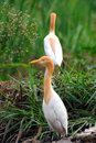 Free Egrets Royalty Free Stock Images - 9996599