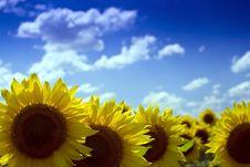 Free Yellow Sunflower Stock Photo - 9990000