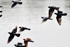 Pigeons Take Flight Stock Photo