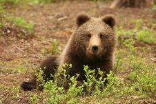 Free Cute Little Brown Bear Sitting Behind Bush Stock Photo - 9990370