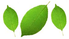Free Leaf Stock Photo - 9990570