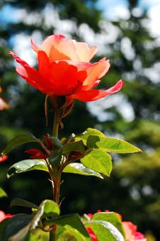 Free Orange Rose In Sunlight Royalty Free Stock Photography - 9990627