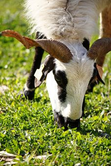 Free Ram Eating Leafs Stock Photography - 9990772