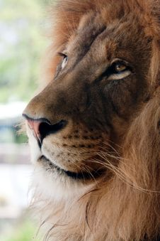 Lion CLose-up Royalty Free Stock Image
