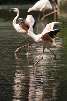 Free Flamingoes Rushing And Flapping Their Wings Stock Photos - 9990783