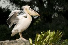 Free Pelican Spreading Its Wings Stock Photo - 9990910