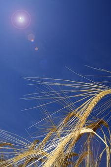 Free Barley Ears In The Sun Stock Photos - 9991473