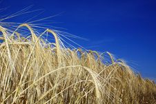 Free Golden Wheat Royalty Free Stock Photography - 9991647