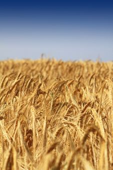 Free Golden Wheat Stock Photos - 9991663