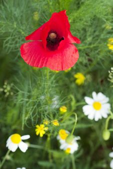 Free Poppy Stock Photos - 9991683