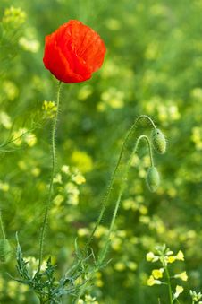 Free Poppy Stock Photography - 9992002
