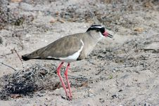 Free Crowned Plover Stock Image - 9992021