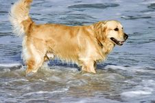 Free Golden Brown Dog Stock Photos - 9992083