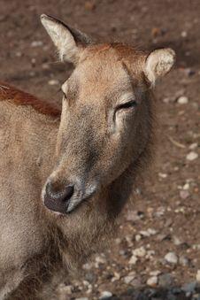 Free David Deer Royalty Free Stock Photography - 9993037