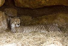 Free Cheetah Resting Royalty Free Stock Image - 9993666