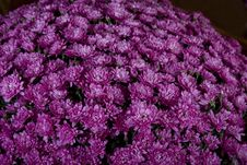 Violet Daisy Stock Images