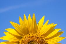 Free Sunflower Against A Sky Background Royalty Free Stock Photo - 9993755
