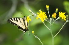 Free Tiger Butterfly A Royalty Free Stock Photography - 9993967