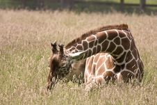 Free Baby Giraffe Royalty Free Stock Photos - 9994428