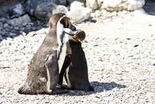 Free Mum And Baby Penguin Royalty Free Stock Photo - 9994605