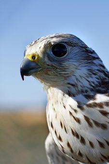 Falcon S Head Royalty Free Stock Photo