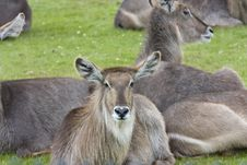 Free Roan Antelope Stock Photography - 9994672