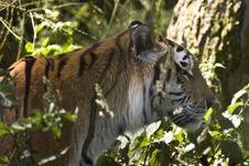 Free Tiger Walking Through Grass Stock Image - 9994701