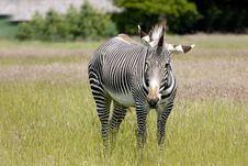Free Zebra Stock Photography - 9994762