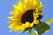 Free Sunflower Stock Images - 9994954