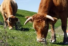 Free Cows Eating The Grass Stock Photography - 9995012
