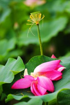 Free The Fallen Lotus Royalty Free Stock Photo - 9995545