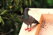 Free Pigeon Royalty Free Stock Images - 9996569