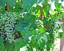 Vine And Grapes Background Royalty Free Stock Photos