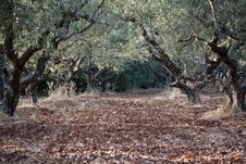 Free Olive Grove Stock Photography - 9997222