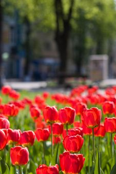 Free Red Tulips And Green Leaf Stock Image - 9999641