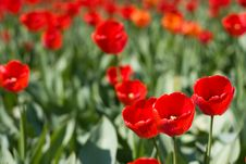 Free Red Tulips And Green Leaf Royalty Free Stock Images - 9999649