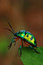 Free Jewel Bug Stock Photo - 9996590